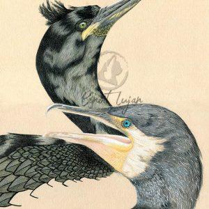 Grand cormoran – Cormoran huppé
