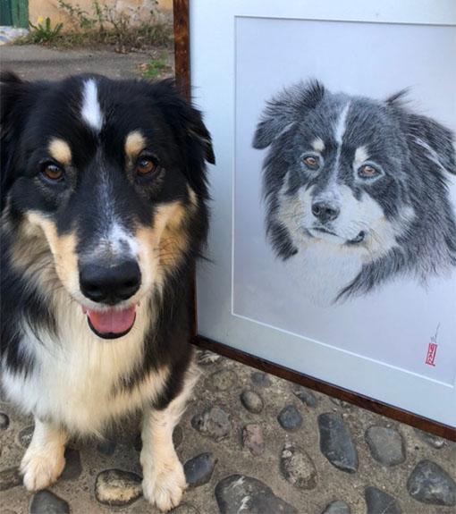 portrait-chien-noir-et-blanc-berger-australien-article